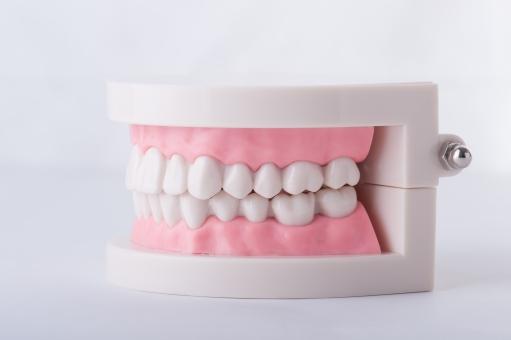 噛み合わせの歯の模型