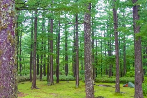 生い茂る杉