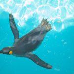 悠々と泳ぐペンギン