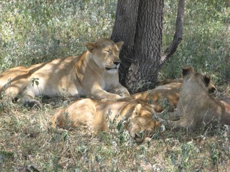 昼寝中のライオン