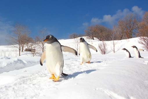 ペンギンの雪中散歩 2